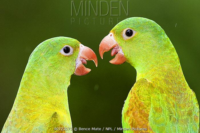 Orange chinned parakeets (Brotogeris jugularis) two looking at each other, Santa Rita, Costa Rica.