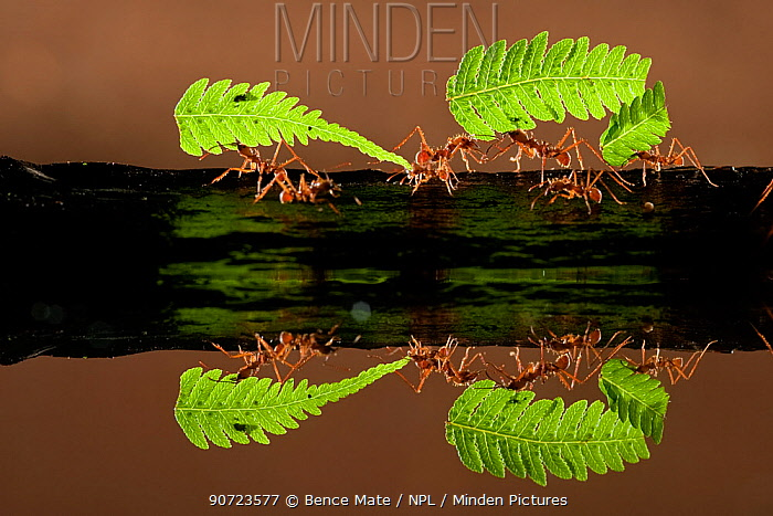 Leaf cutter ants (Atta sp) carrying pieces of fern, reflected in water, Costa Rica.