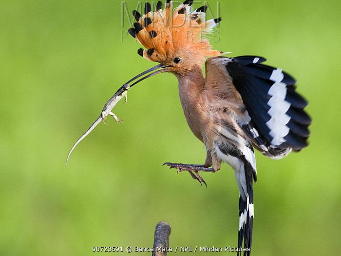 Hoopoe (Upupa epops) landing, with lizard prey, Kiskunsagi National Park, Pusztaszer, Hungary. May.
