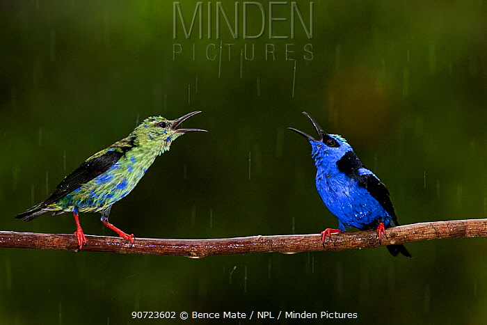 Red-legged honeycreeper (Cyanerpes cyaneus) male and juvenile male perched in rain, Costa Rica.