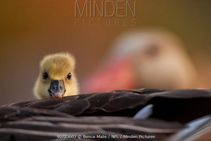 Graylag gosling (Anser anser) resting under parent's wing, Kiskunsagi National Park, Pusztaszer, Hungary.