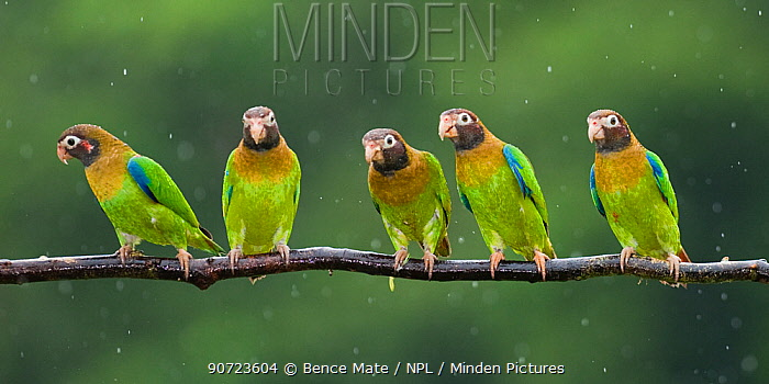 Group of five Brown-hooded parrots (Pyrilia haematotis) in rain, Costa Rica.