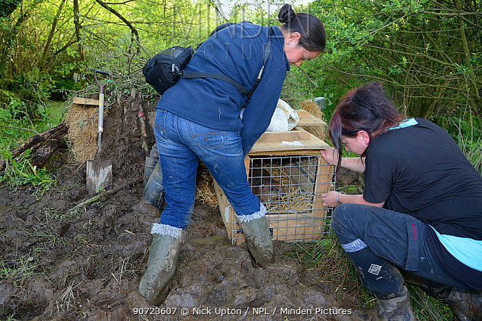 Alicia Leow-Dyke and Roisin Campbell-Palmer wait for an Eurasian beaver (Castor fiber) to move from its transport crate into an artificial lodge, built at a secret location by Devon Wildlife Trust for a beaver reintroduction, Devon, UK, May 2016. Model released.