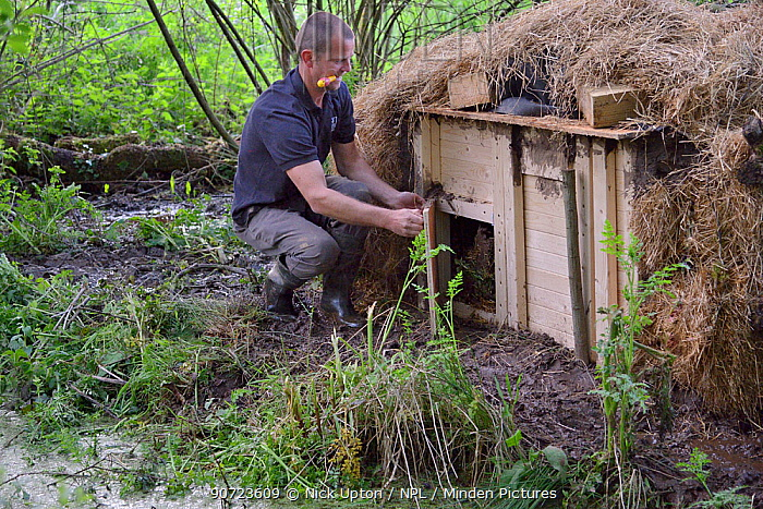 Peter Burgess opening the entrance to an artificial lodge containing Eurasian beaver (Castor fiber) at a secret location during a beaver reintroduction by Devon Wildlife Trust, Devon, UK, May 2016. Model released.