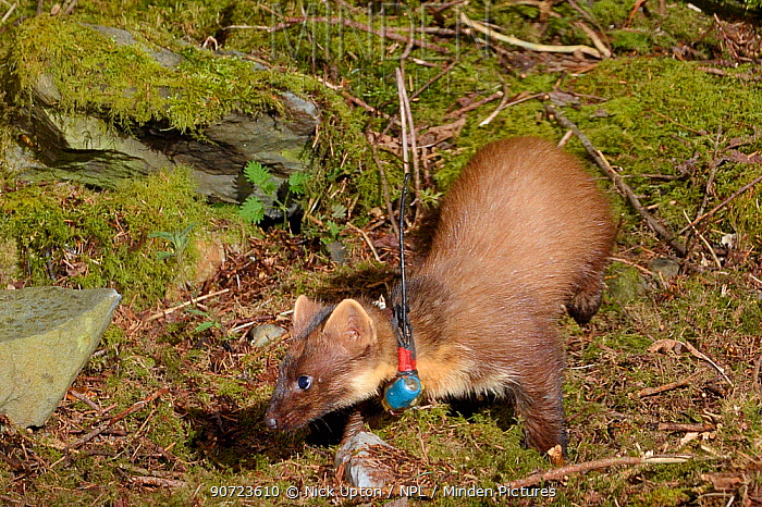 Radio-collared female Pine Marten (Martes martes) reintroduced to Wales by the Vincent Wildlife Trust foraging at night in woodland, Cambrian Mountains, Wales, UK, May 2016. Photographed using a remote camera trap.