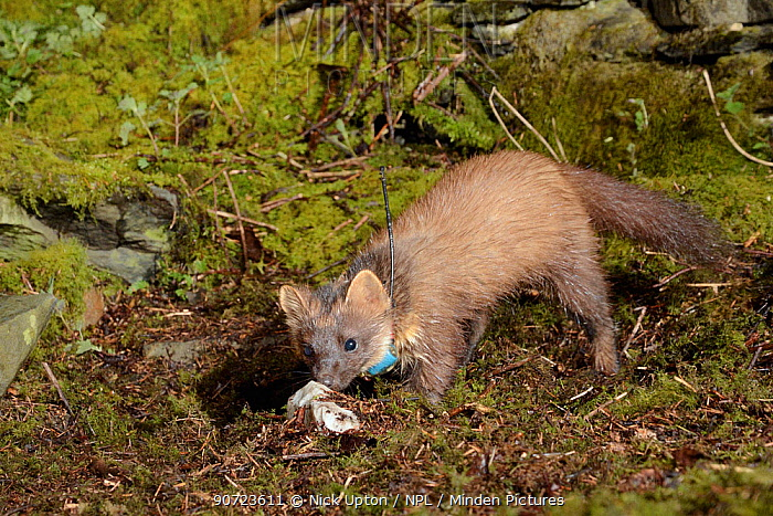 Radio-collared female Pine Marten (Martes martes) foraging at night in woodland. Reintroduced to Wales by the Vincent Wildlife Trust. Cambrian Mountains, Wales, UK, May 2016. Photographed using a remote camera trap.