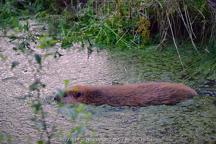 Eurasian beaver (Castor fiber) swimming  at dusk after emerging from an artificial lodge, at a secret location during a beaver reintroduction by Devon Wildlife Trust, Devon, UK, May 2016.