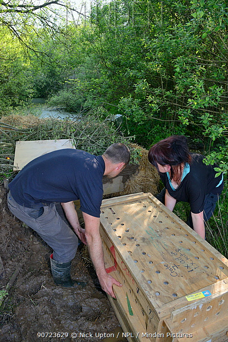 Peter Burgess and Roisin Campbell-Palmer pushing crate containing an Eurasian beaver (Castor fiber) up to an artificial lodge built at a secret location for a beaver reintroduction by Devon Wildlife Trust, Devon, UK, May 2016. Model released.