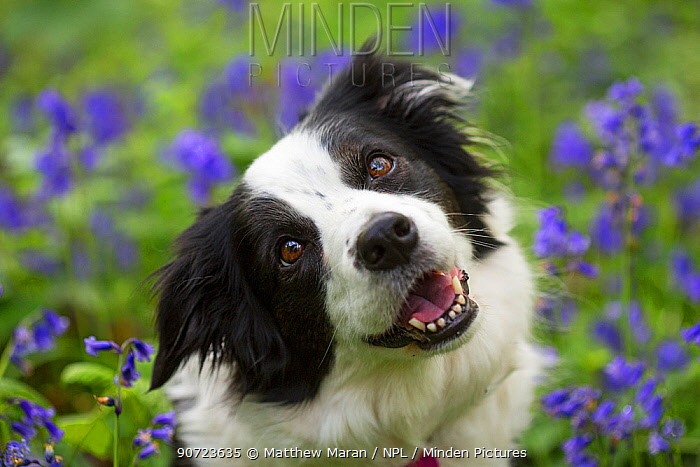 Portrait of black and white border collie in bluebells, Hampstead Heath, England, UK.