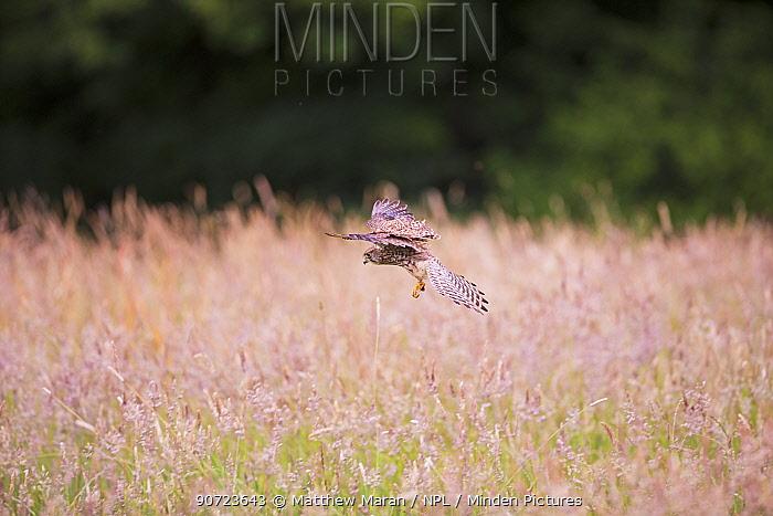 Common kestrel (Falco tinnunculus) female hunting over Cohen's fields Hampstead Heath, London, England, UK. June.