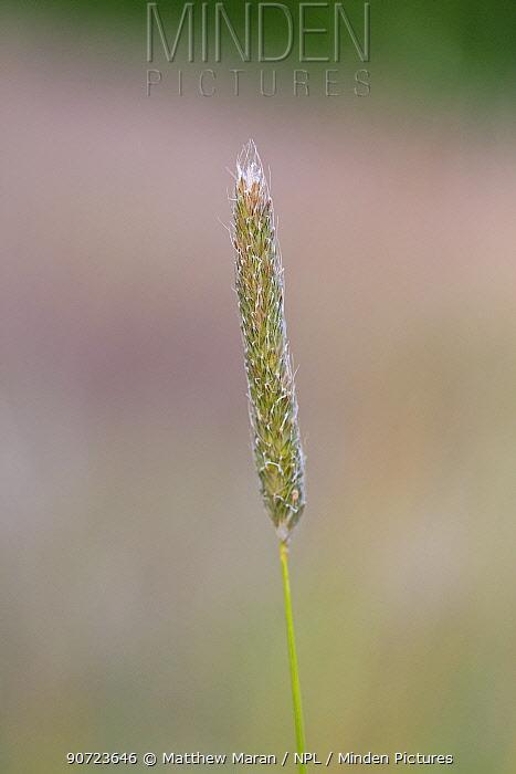 Meadow foxtail / Foxtail grass (Alopecurus pratensis) Hampstead Heath, London, England, UK. June.