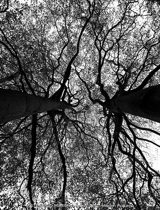 Beech tree (Fagus sylvatica) canopy of ancient trees, Hampstead Heath, London, England, UK. November.
