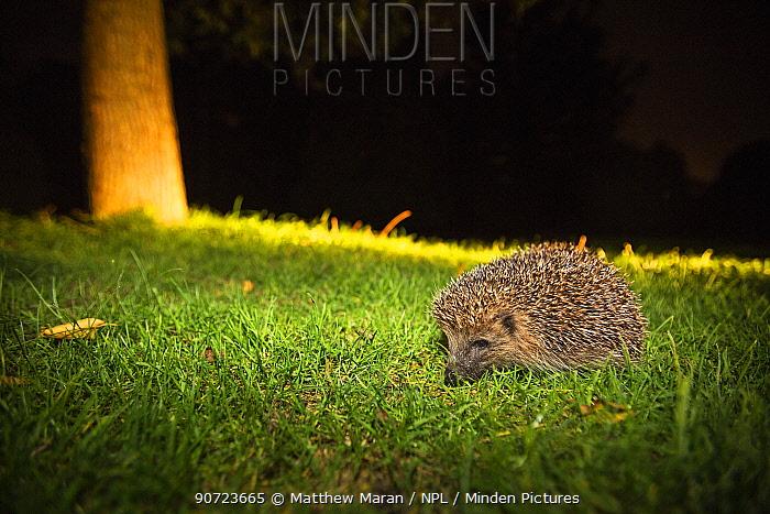 Hedgehog (Erinaceus europaeus) at night, illuminated by torchlight, Hampstead Heath, London, England, UK. September.