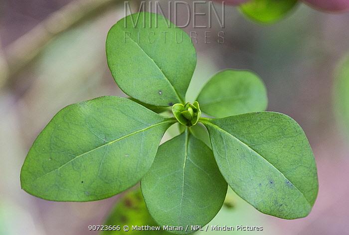 Privet leaves (Ligustrum ovalifolium) Hampstead Heath, London, England, UK. February.