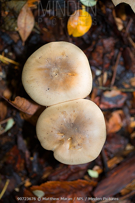 Clouded funnel mushroom (Clitocybe nebularis) Hampstead Heath, London, England, UK. October.