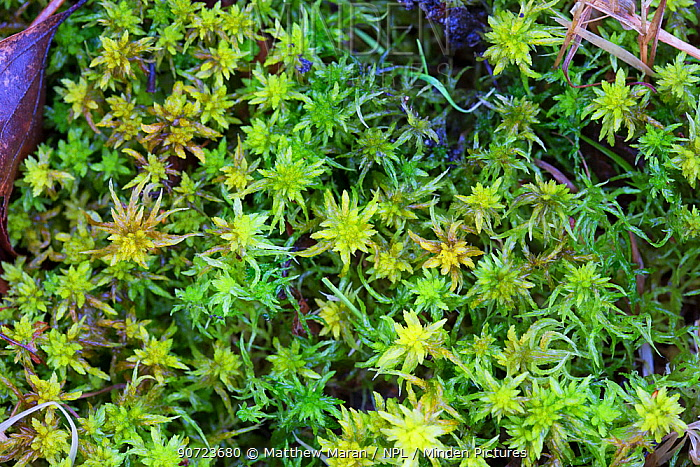 Spagnum Moss (Sphagnum Sp.) Hampstead Heath, London, England, UK. March.