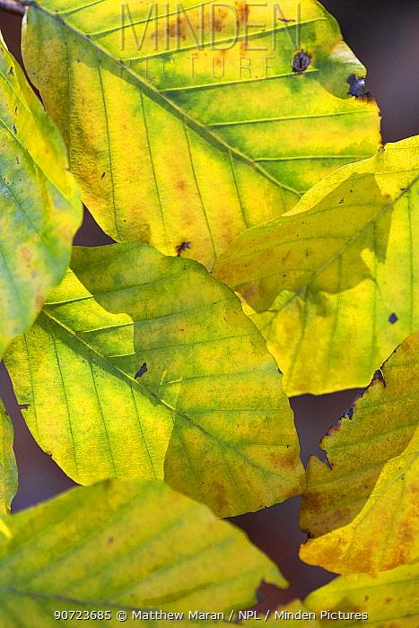 European beech tree (Fagus sylvatica) leaves turning yellow in autumn, Hampstead Heath, London, England, UK. November.