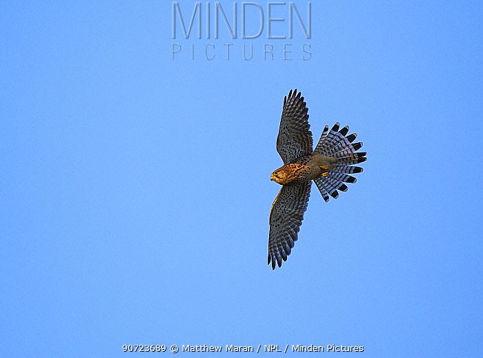 Kestrel (Falco tinnunculus) in flight against blue sky, Hampstead Heath, England, UK, October.