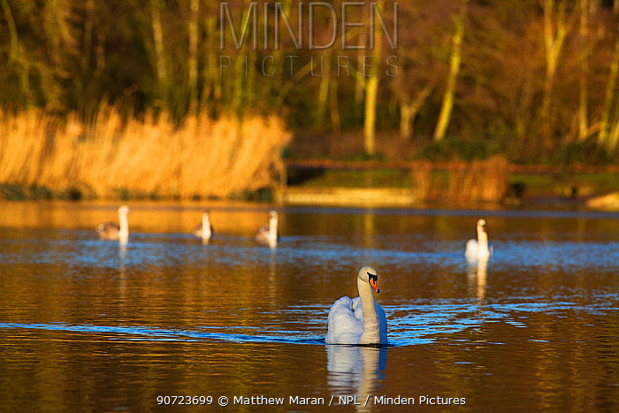 Mute swans (Cygnus olor) Highgate Ponds, Hampstead Heath, London, England, UK. January.