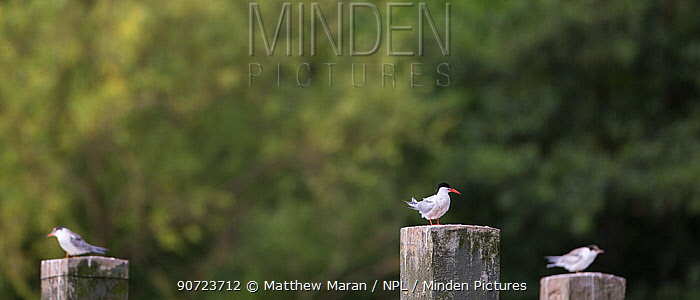 Common tern (Sterna hirundo) group of three perched on posts, Hampstead Heath, London, England, UK. August.