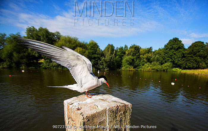 Common tern (Sterna hirundo) with wings extended, Hampstead Heath, London, England, UK. August.