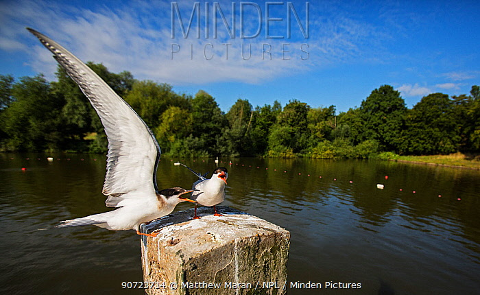 Common terns (Sterna hirundo) calling on post, Hampstead Heath, London, England, UK. August.