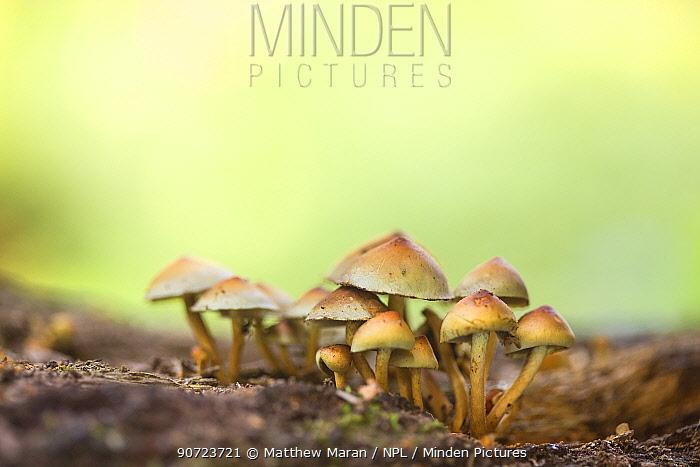 Sulphur tuft mushroom (Hypholoma fasciculare), Hampstead Heath, England, UK.