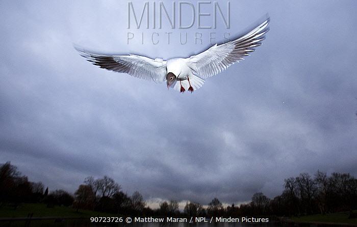 Black headed gull (Chroicocephalus ridibundus) hovering in flight, Highgate Ponds Hampstead Heath, London, England, UK. March.