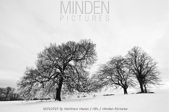 English oak tree (Quercus robur) and Beech trees (fagus sylvatica) in winter landscape, Hampstead Heath, London, England, UK. January.
