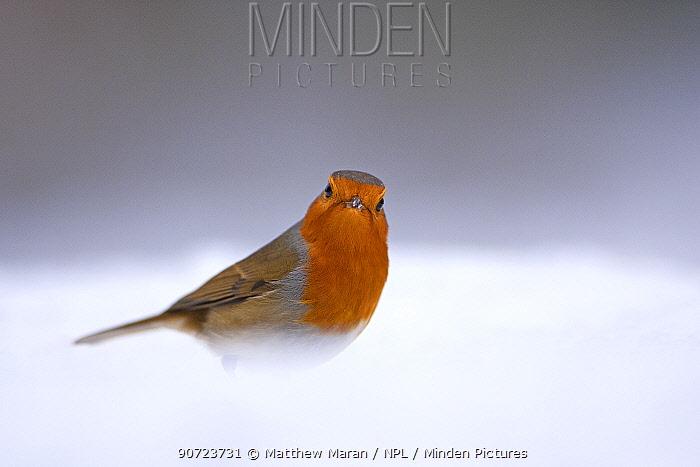 European robin (Erithacus rubecula) in snow, Hampstead Heath, London, England, UK. January.