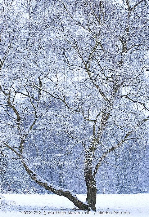 Silver birch (Betula pendula) in snow, Hampstead Heath, London, England, UK. February.
