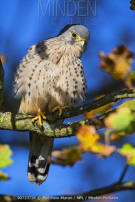 Kestrel (Falco tinnunculus) male, Hampstead Heath, England, UK. October.