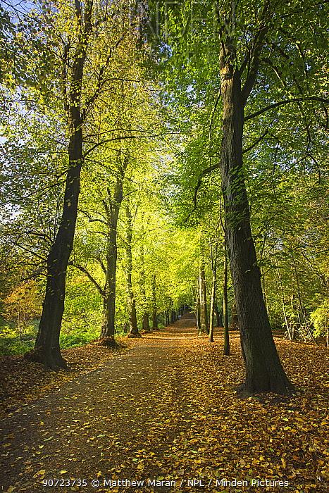 'Lime Avenue' a famous row of Lime trees (Tilia Sp) Hampstead Heath, London, England, UK. October 2014.