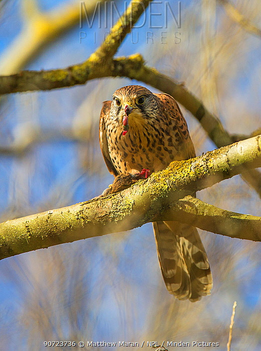 Kestrel (Falco tinnunculus) feeding on mouse, Hampstead Heath, England, UK. October.