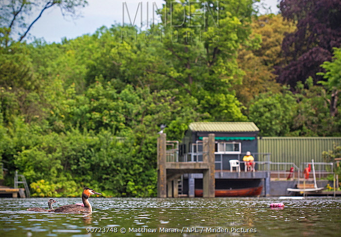 Great crested grebe (Podiceps cristatus) on pond  with chick in front of life guard hut, Hampstead Heath, London, England, UK. May 2014.