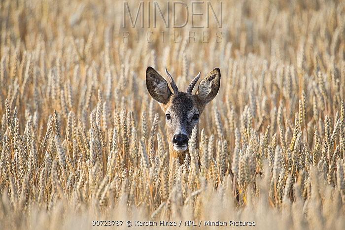 European roe deer (Capreolus capreolus), male, in wheat field, Brandenburg, Germany, July.