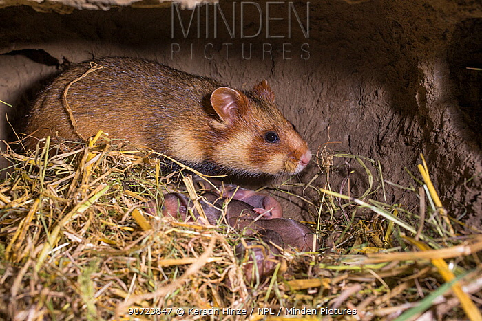 European hamster (Cricetus cricetus) female with pups age six days, captive.
