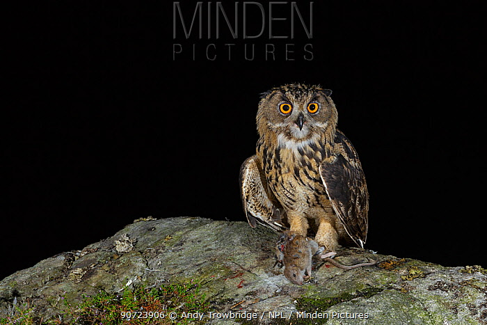 Eurasian Eagle owl (Bubo bubo) juvenile with prey, a brown rat (Rattus norvegicus), at night. Southern Norway. August.