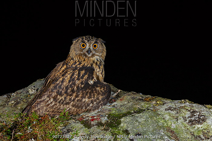 Eurasian Eagle owl (Bubo bubo) juvenile perched on rocky outcrop hiding/covering prey - brown rats (Rattus norvegicus) at night. Southern Norway. August.