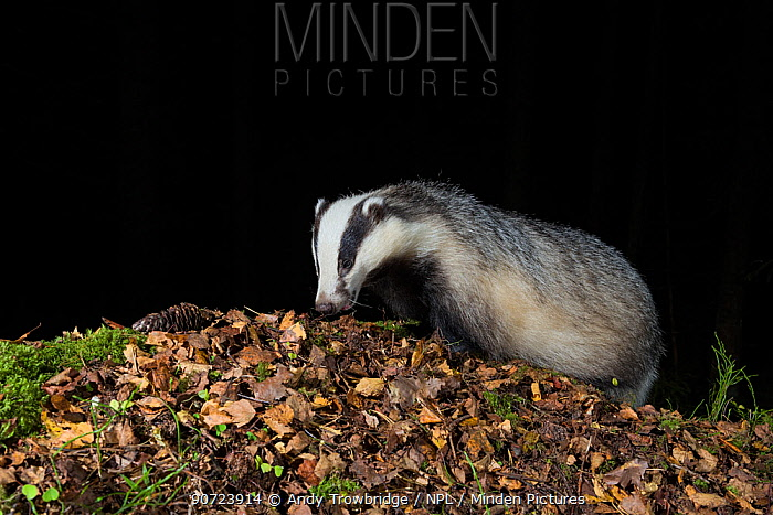 Eurasian badger (Meles meles) searching for food amongst autumn leaves at night. Southern Norway. September. Taken with remote camera trap.