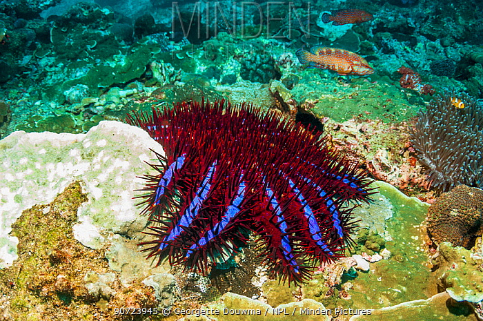 Crown-of-thorns starfish (Acanthaster planci) next to a patch of coral it has preyed on. Only in Thailand are the Crown-of-thorns starfish this unusual colour. Andaman Sea, Thailand.