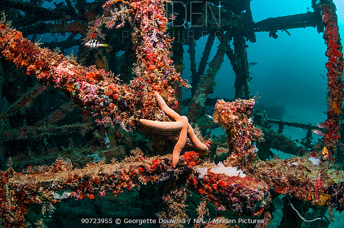 Artificial coral reef site with a Blue starfish (Linckia laevigata) Mabul, Malaysia.