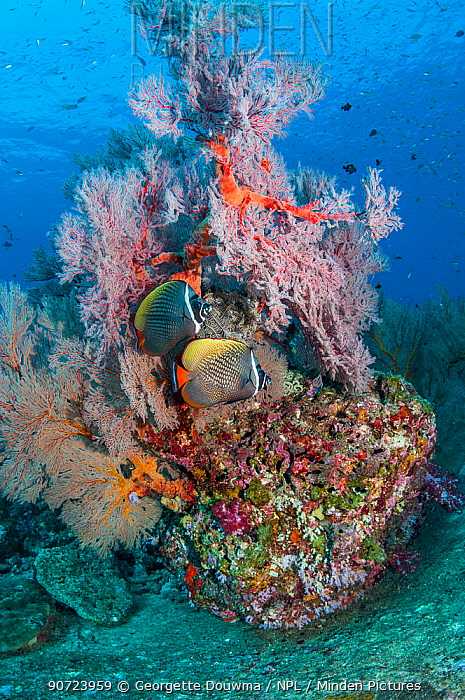 Pair of Redtail butterflyfish (Chaetodon collare) with a Gorgonian sea fan (Melithaea sp.) Andaman Sea, Thailand.