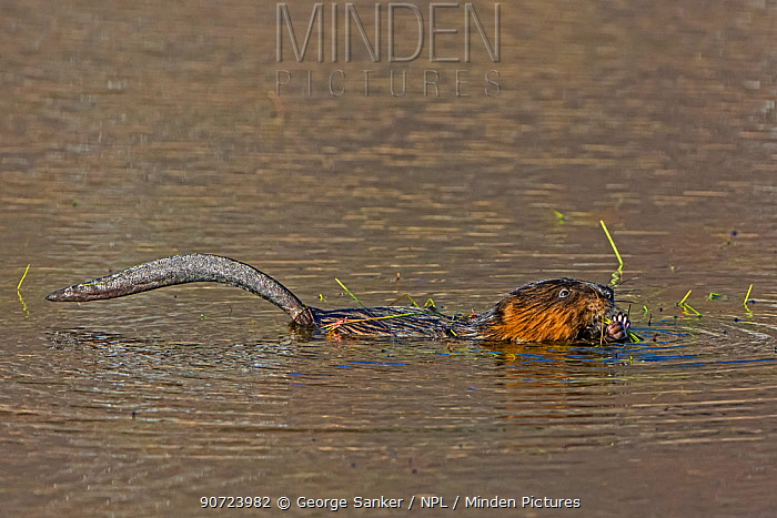 Muskrat (Ondatra zibethicus) in water feeding on aquatic plants, Acadia National Park, Maine, USA.