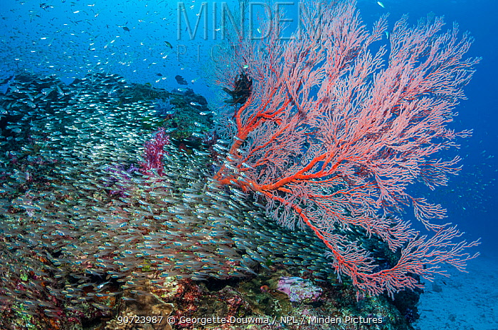 Pygmy sweepers (Parapriacanthus ransonetti) with a Gorgonian sea fan (Melithaea sp.) Similan Islands, Andaman Sea, Thailand.