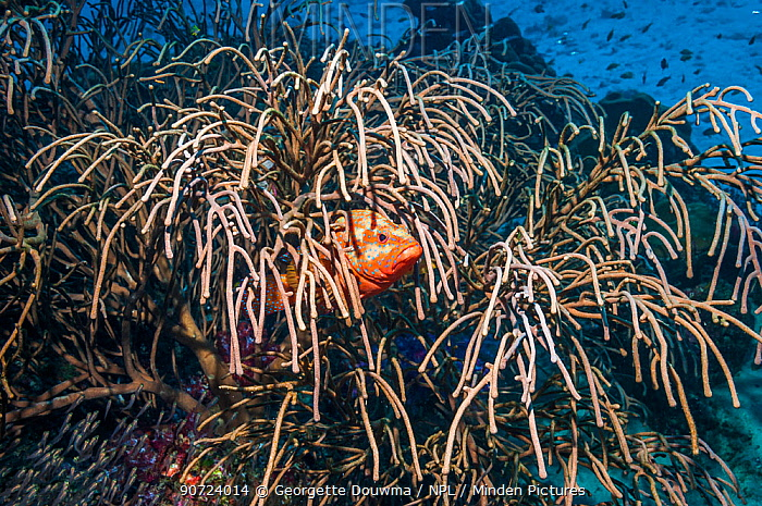 Coral hind (Cephalophis miniata) hiding in Gorgonian (Rumphella sp.) Similan Islands, Andaman Sea, Thailand.