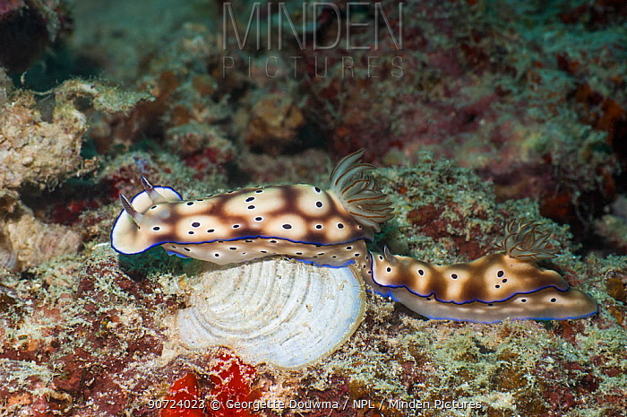 Nudibranch (Risbecia tryoni) pair moving along together, Mabul, Malaysia.
