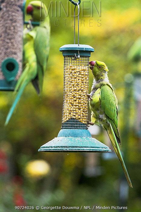 Rose-ringed or ring-necked parakeets (Psittacula krameri) on bird feeders in urban garden. London, UK, October.