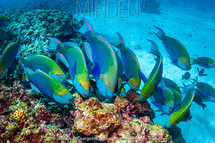 Greenthroat or Singapore parrotfish (Scarus prasiognathus), large school of terminal males grazing on algae covered coral boulders. Andaman Sea, Thailand.