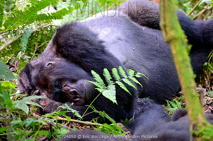Portrait of male silverback Mountain gorilla  (Gorilla beringei beringei) sleeping, Virunga National Park, Democratic Republic of Congo.